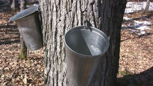 Maple Sugaring (Grad